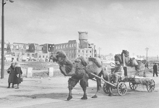 верблюды в великой оточественной войне
